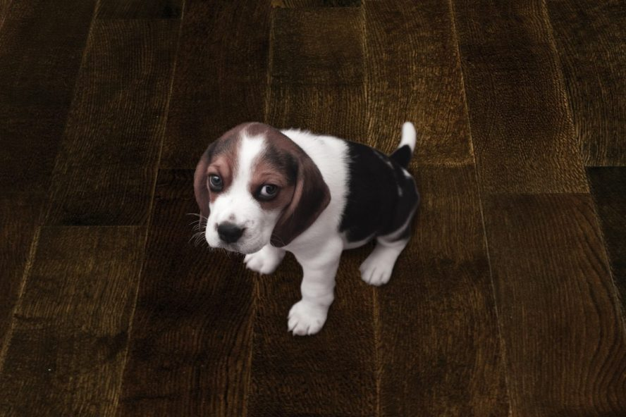 Image showing a puppy on a wood floor.